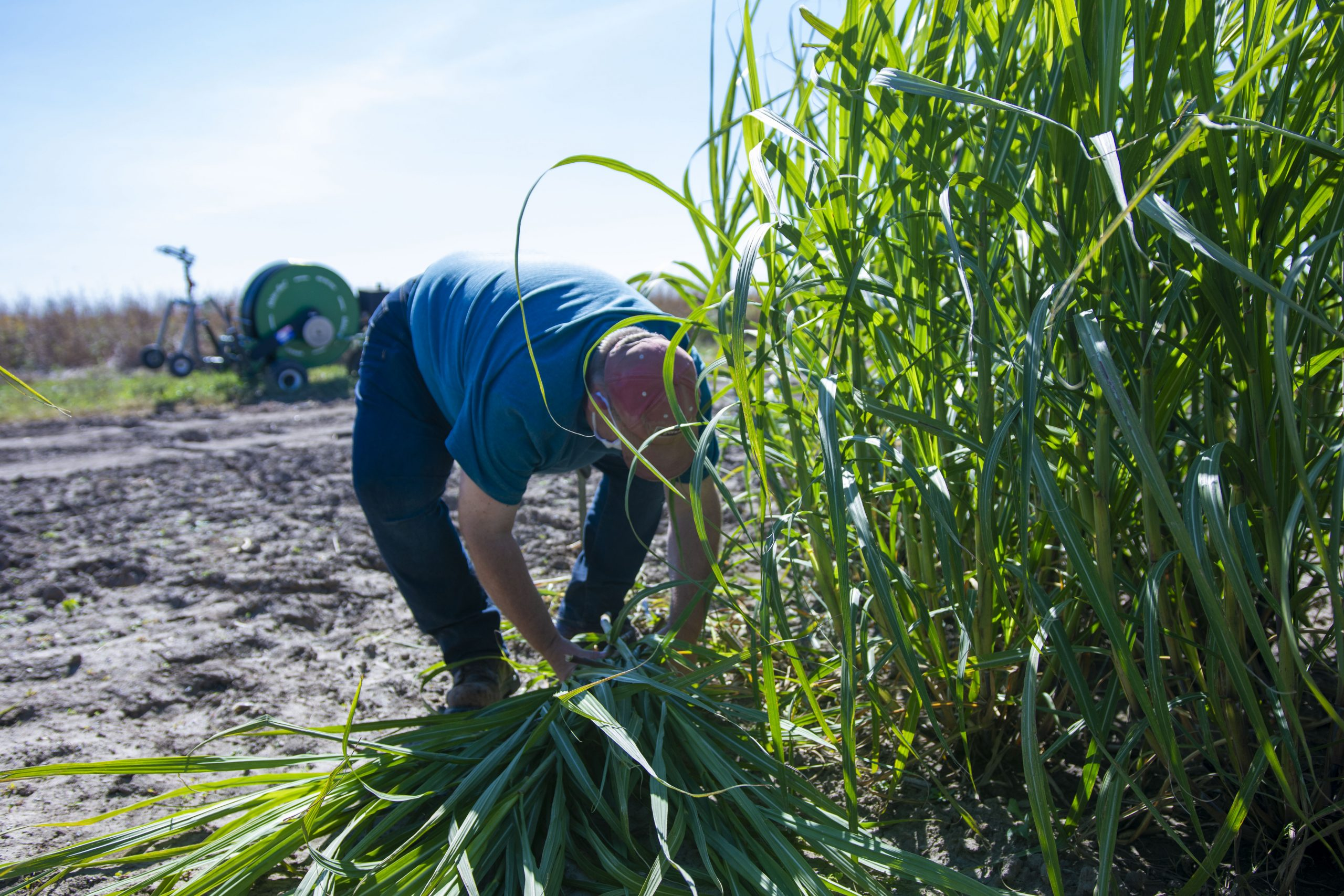 CABBI Feedstock Production researcher Scott McCoy harvests oilcane at the Illinois Energy Farm.