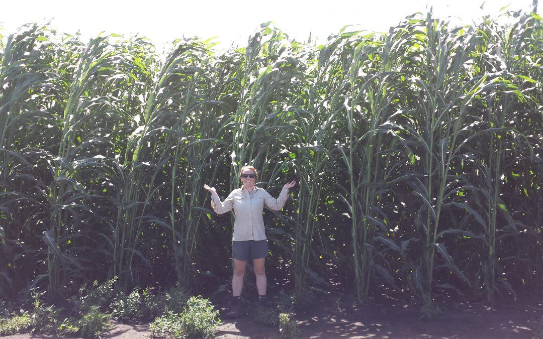 Energy Sorghum May Combine Best of Annual, Perennial Bioenergy Crops